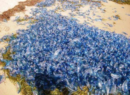 Australia: trovate migliaia di bluebottle velenose sulla spiaggia