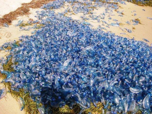 Agglomerato bluebottle
