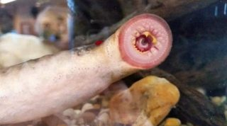 Pioggia di pesce lamprede