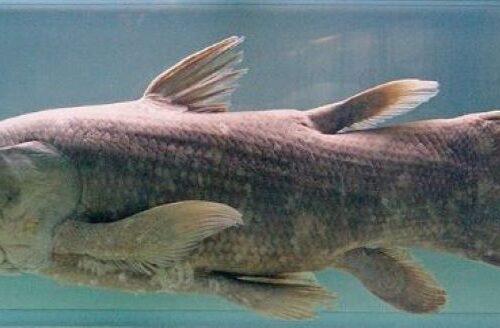 Celacanto, il pesce preistorico è ancora vivo e vegeto